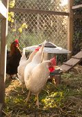pic of hen house  - White and black and red hens walking on rural yard - JPG