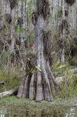 stock photo of collier  - Bald Cypress trunk in Big Cypress National Preserve - JPG