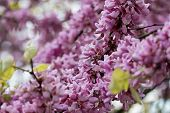 foto of judas tree  - Spring flowering Judas Tree bright purple flowers and small leaves on the stem - JPG