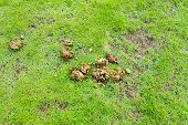 image of dog poop  - image of dry animal poop on green grass  - JPG