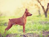 picture of miniature pinscher  - Photo of young miniature pinscher at outdoor in spring blossom apple tree garden on sunset - JPG