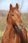 foto of chestnut horse  - Portrait of nice chestnut horse looking at you  - JPG