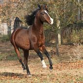 picture of stallion  - Brown arabian stallion running in paddock with trees - JPG