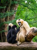 pic of child feeding  - White female gibbon breast feeding her child in front of the green forest - JPG