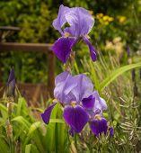 image of purple iris  - Image beautiful purple irises in a garden Northern Greece - JPG