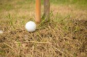 stock photo of disadvantage  - Unlucky golf ball drop under the small tree and difficult to swing - JPG