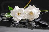 pic of gardenia  - Two gardenia with green plant on black pebbles  - JPG