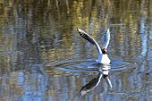 pic of ooze  - Bird seagull with outstretched wings closeup sitting on the water - JPG