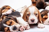 pic of puppy beagle  - Beagle puppy lying on the white background among other sleeping puppies - JPG