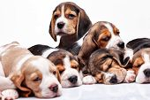 foto of puppy beagle  - Beagle puppy lying on the white background among other sleeping puppies - JPG