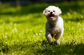 picture of irresistible  - cute small bichon running in the park notice shallow depth of field - JPG
