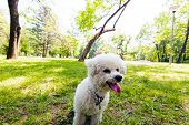 image of irresistible  - cute small bichon running in the park notice shallow depth of field - JPG