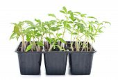 foto of tomato plant  - Tomato seedlings in a pot isolated on white background - JPG