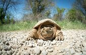 foto of mud  - Common snapping turtle covered in dried mud crossing a country gravel road - JPG