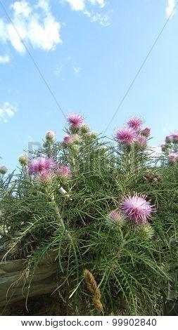 Flowering Thistle