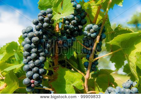 Red Wine Grapes With Leaves-valtice,czech Rep.