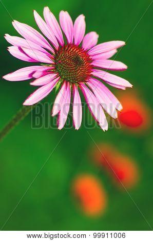 Beautiful Purple Echinacea