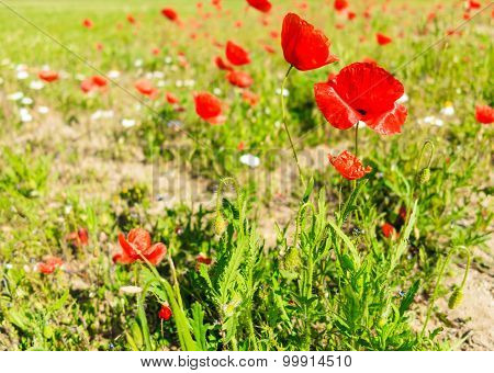 Field Of Poppies.