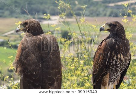 Two Golden Eagles Resting In The Sun