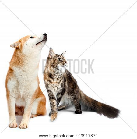 Cat and dog. Maine coon, shiba inu looking up with attention. Portrait on a white background
