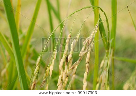 Asian Rice Grow Paddy Fields In Thailand And Blue Sky Is Background