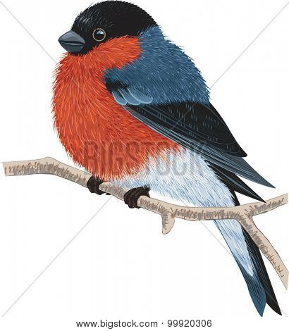 Bullfinch sitting on a tree branch isolated on white background