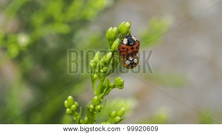 A Red and Orange Lady Bug on a Plant.