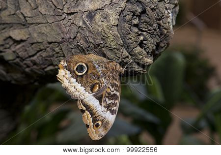 Owl Butterfly On A Trunk