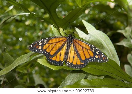 Monarch Butterfly Over Green