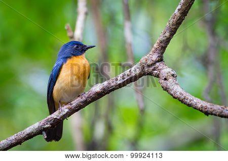 Mangrove Blue Flycatcher (male)