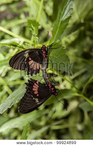 Cattleheart Butterfly Mating