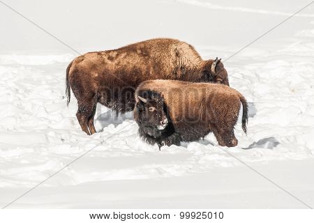 Juvenile Bison With Cow