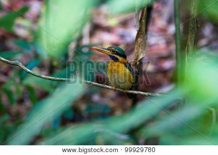 Rufous-collared Kingfisher (female)