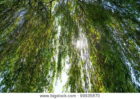 Sun shines through a willow tree