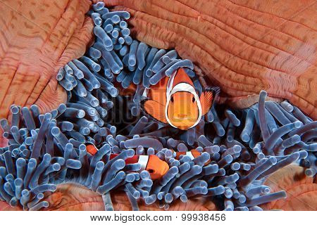 Clown fish family, Amphiprion ocellaris, hiding in host sea anemone Heteractis magnifica