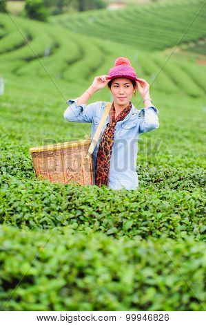 Asia Beautiful Woman Picking Tea Leaves In A Tea Plantation, Happyness