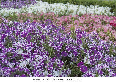 Many Petunia Flowers In A Garden