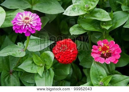 Zinnia Flowers On The Natural Background.