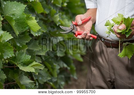 Senior winemaker cuts twigs