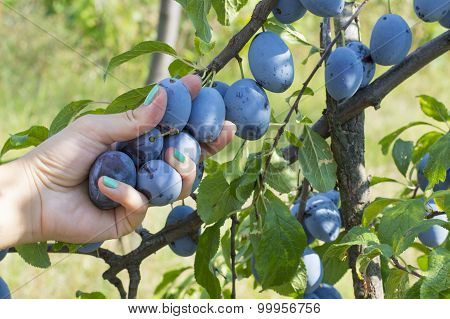 Plum Picking Season. Female Hand Picking Plum In The Field
