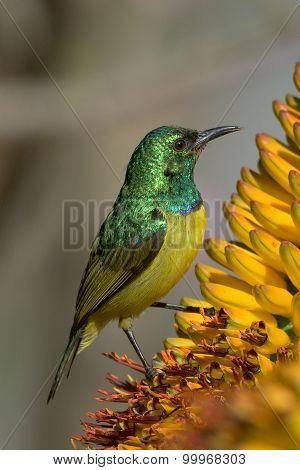 Feeding nectar