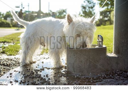 west highland white terrier dog on leash