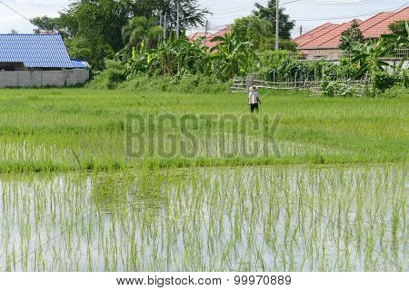 The Farmer Is Harvesting Rice In Paddy Field