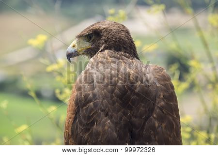 Golden Eagle Resting In The Sun
