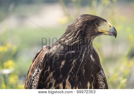 Golden Eagle Resting In The Sun With Open Mouth