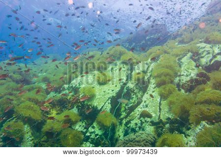 Tropical Fish On Coral Reef For Diving At South West Pinnacle On Koh Tao