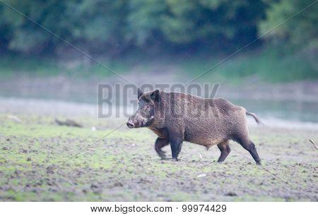 Wild Boar Walkin In Forest