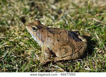 The Common Frog