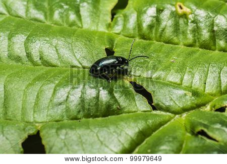 Beetle On A Green Leaf