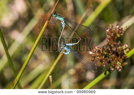 Blue-tailed damselfly (ischnura Elegans)